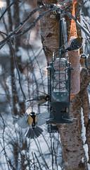 Tintit (TheSaOk) Tags: sinitiainen bird lintu maalaus wings siivet dawn winter snow luontokuva birdlife birds birdlover still feeding feeder tatitintti