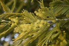 DSC_5147 (griecocathy) Tags: macro végétations arbre mimosa fleur feuille vert jaune gris