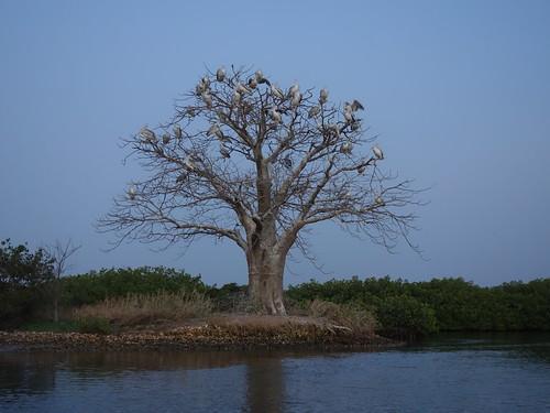C'est dans ce baobab que de nombreux pélicans viennent nicher le soir pour y passer la nuit