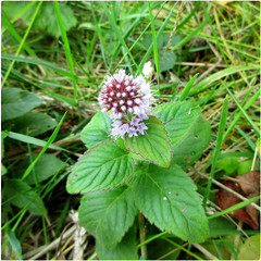 Water Mint has many uses! (Julie (thanks for 8 million views)) Tags: watermint wildflowers 100flowers2018 squareformat booleybay ireland irish wexford flower flora menthaaquatica green canonixus170