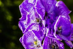Glory in purple (Bela Bodo) Tags: platycodongrandiflorus glare brightness purple violet flower garden closeup balloon bloom beautiful lights