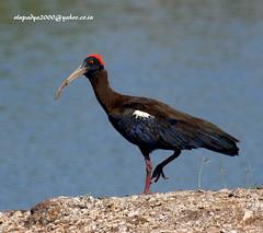 IMG_3295 Red-naped Ibis (Pseudibis papillosa) (vlupadya) Tags: greatnature animal bird aves fauna indianbirds rednaped ibis pseudibis jamnagar gujarath