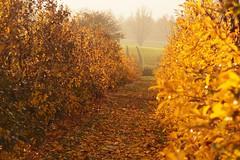 Herbstfärbung (ISOZPHOTO) Tags: isoz isozphoto herbstfärbung herbstlich herbst autumnal autumn colourful colorful farben colours oly olympus zuiko omd em5 40150 yellow gelb jülich broich rheinland nrw nordrheinwestfalen deutschland m43 microfourthirds micro43 dslm spiegellos mirrorless 2018 outside オリンパス ズイコー zuikō zuiko40150 zuikodigitaled40150mm4056r mzuiko40150 olympusomd omdem5
