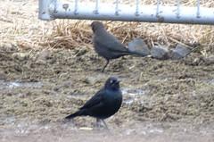 Dec13,2018 DSC01566 Brewer's Blackbird (terrygray) Tags: blackbirds cowbird