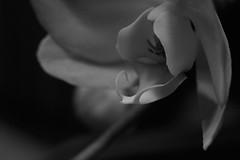 Orchid details (richard.kralicek.wien) Tags: blackandwhite orchids flowers