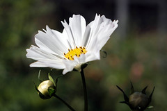 Cosmos (San Francisco Gal) Tags: cosmos flower fleur bloom blossom bokeh filoli bud