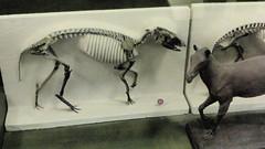Micro Horses (edenpictures) Tags: fossil bones skeleton skull prehistoric extinct mammal newyorkcity nyc manhattan americanmuseumofnaturalhistory amnh naturalhistorymuseum museum upperwestside