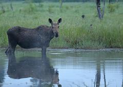 Moose...#4 (Guy Lichter Photography - 4.4M views Thank you) Tags: canon 5d3 canada manitoba rmnp wildlife animal animals mammal mammals moose cow