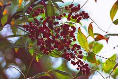 'Tis the season (1crzqbn) Tags: outside dof bokeh nature sliderssunday heavenlybamboo inmygarden light sunlight shadows