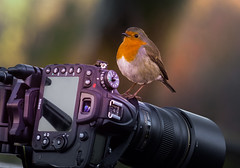 Robin- Camera-Action. Take one. (neil 36) Tags: robin camera action hijack demanding food derbyshire england nature wildlife outdoors