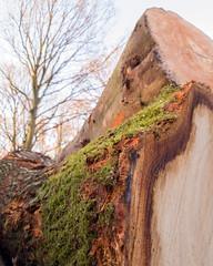 Rufford 10 log moss (bob watt) Tags: samsung mobile s9 ruffordabbey rufford nottinghamshire england uk december 2018