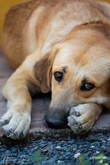 Dog Portrait (Fililla) Tags: pet animaldoméstico mascota lascorchuelas palacioviejodelascorchuelas perro dog animals animales animal portrait retrato sigma105mm sigma d5500 nikon parquenacionaldemonfragüe monfragüe torrejónelrubio cáceres extremadura spain españa 2018