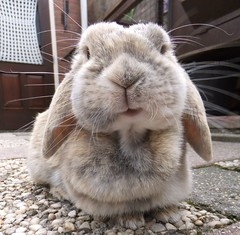 Little smile (eveliensbunnypics) Tags: bunny rabbit lop lopeared polly outdoor outside backyard patio face closeup smile smiling mouth mouf whiskers dimples whiskerdimples