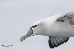 White-capped Albatross (R. Francis) Tags: whitecappedalbatross thalassarchecautasteadi tasmania tassie tas ryanfrancis ryanfrancisphotography pelagic tasmanpeninsula
