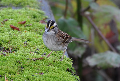Does this moss make me look fat? (reifelbirdsanctuary) Tags: sparrow songbird wildlife delta ladner reifelbirdsanctuary coastal migrant estuary fraserriverestuary britishcolumbia whitethroatedsparrow zonotrichiaalbicollis georgecreifelmigratorybirdsanctuary canada fraserriverdelta ramsar243canada