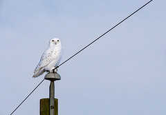 Week 2 2019 (Jan. 8 to Jan. 14) (Don Arsenault) Tags: bird owl white sky wildlife perched nature canonef70200mmf28lisiiusm canada camrose alberta donarsenault canoneos5dmarkiii