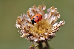 Lady Bug - Marienkäfer (Hugo von Schreck) Tags: hugovonschreck bug insect insekt macro makro ladybug marienkäfer canoneos5dmarkiii tamronspaf180mmf35dildifmacro11
