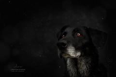 SnowFlakes (Christiane Schäfer) Tags: snow schnee labrador hund dog black white schneesturm hundefotografie pets littledoglaughednoiret