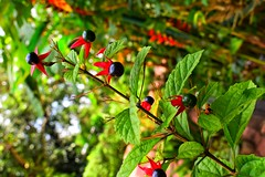 A small fruit (Praveen Banneka) Tags: macro small edible fruit leaves black green red