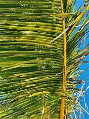 Dream in palms (nikkiwitt81) Tags: beachphotography closeup palmtrees iphonex photography iphone