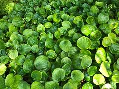 petites-feilles-vertes© (alexandrarougeron) Tags: photo alexandra rougeron flickr fleurs nature plante végétal végétale ville beauté couleur frais