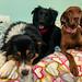 Three (Little) Dogs
