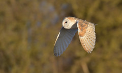Barn Owl (KHR Images) Tags: barnowl barn owl tytoalba wild bird birdofprey hunting flying sunshine cambridgeshire fens eastanglia wildlife nature nikon d500 kevinrobson khrimages