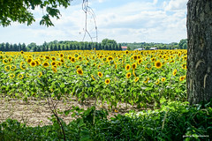 Waiting for the Sun (gabi-h) Tags: sunflowers waupoos field farm flowers sunshine summer gabih princeedwardcounty trees green greenery plants rural warmdays clouds blueskies