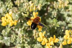 IMG_0887 Macro (Fernando Sa Rapita) Tags: baleares canon canoneos eos1300d mallorca sarapita sigma sigma105mm sigmalens macro naturaleza nature flower flores abeja bee