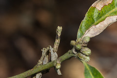 IMG_4420  尺蛾科 Geometridae (vlee1009) Tags: 2019 60d canon march nantou taiwan nature camouflage moths caterpillars