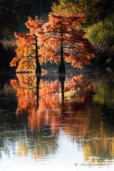 Cypres chauve-Taxodium distichum (PatNik01) Tags: taxodiumdistichum cypreschauve nordisere france baix nikon etang eau automne arbre