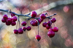 Abundance (Fourteenfoottiger) Tags: berries red fruit harvest autumn autumncolours fall fallcolours bokeh bubblebokeh bubbles juicy ripe shiny food trees plants nature meyergorlitztrioplan28100mm