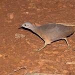 Little Tinamou (Crypturellus soui)