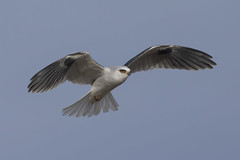 White-tailed Kite (Hockey.Lover) Tags: whitetailedkite birds arrowheadmarsh mlkshoreline martinlutherkingjrregionalshoreline