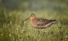Every Dowitcher Way But Loose (Kathy Macpherson Baca) Tags: animal bird birds fly dowitcher marsh earth nature wildlife migrate planet feathers shorebird wading world coastal