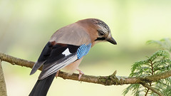 a Jay on a branch (Franck Zumella) Tags: bird jay geai leaves ground eat eating manger sol blue bleu animal wildlife oiseau nature winter hiver green vert background arriere plan bokeh soft think thinking penser pensant branche branch