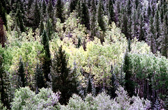 71-528 (ndpa / s. lundeen, archivist) Tags: nick dewolf nickdewolf color photographbynickdewolf 1975 1970s film 35mm 71 reel71 summer fall aspen colorado september mountain mountains rockymountains rockies mountainside trees landscape aspens pines aspentrees pinetrees