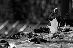 Autumn Scenes in Black and White (MarkusR.) Tags: d722745sw mrieder markusrieder stuttgart germany wilhelma zoologischergarten zoo park botanischergarten zoologicalgarden botanicalgarden nikon d7200 nikond7200 herbst fall autumn leaves blätter bw sw monochrome