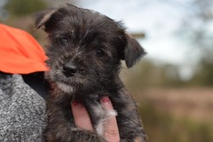 ONe (5) (AlmostHome_Dog) Tags: almost home dog rescue north wales puppy puppies pup pups westie yorkie west highland terrier yorkshire