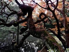 arboreal uzumaki (deziluzija) Tags: branches garden heianjingushrine koyo leaves pond tree