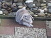 Stretch! (eveliensbunnypics) Tags: bunny rabbit lop lopeared polly outdoor outside backyard patio stretch stretching paws dewlap rocks