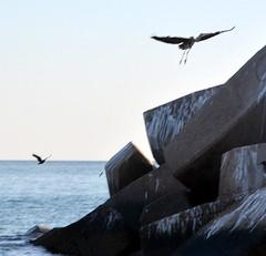 HERON,   MUSCAT,  OMAN,  ARABIA (vermillion$baby) Tags: blueheron omanchannel omansea bird coastline muscat oman rocky seabird seagull uae seabirds