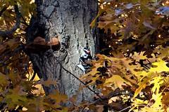 Hairy Woodpecker  Minnesota, Sherburne County, Sherburne National Wildlife Refuge (EC Leatherberry) Tags: hairywoodpecker minnesota woodpecker sherburnecounty sherburnenationalwildliferefuge nationalwildliferefuge usfishandwildlifeservice leuconotopicusvillosus