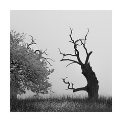 The constant gardener (Nick green2012) Tags: square trees blackandwhite silence mist minimalism landscape oaks