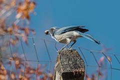 California Scrub-Jay (Aphelocoma californica) (byjcb) Tags: jay birds reno nevada unitedstates us