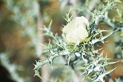 Blou Dissel Plant - Argemone ochroleuca (Mexican Prickly Poppy) (roanfourie) Tags: pricklypoppy bloudissel leaves green white cream plant weed light day spring nikon d3400 nikkor dx afs 35mm raw gimp november 2018