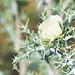 Blou Dissel Plant - Argemone ochroleuca (Mexican Prickly Poppy)