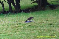 Killer Strike #9 (mgkphotokerry) Tags: hawk kestrel birdsofprey birds birdwatchireland wildbirds irishbirds irishwildlife irishnature mgkphotokerrycom michaelgkenny killorglin kerry countykerry wildatlanticway prey