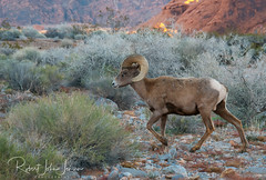 Is it Real (~ Bob ~) Tags: majestic bighorn ram sheep nikon statepark amazing mammal d500 amazingwildlife dessertbighornsheep nevada feisol wildlife valleyoffire nature
