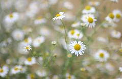 flower power (chtimageur) Tags: flower power summer fleurs été macro bokeh dof canon 6d mark ii landscape nature paysage bloemen zomer landschap